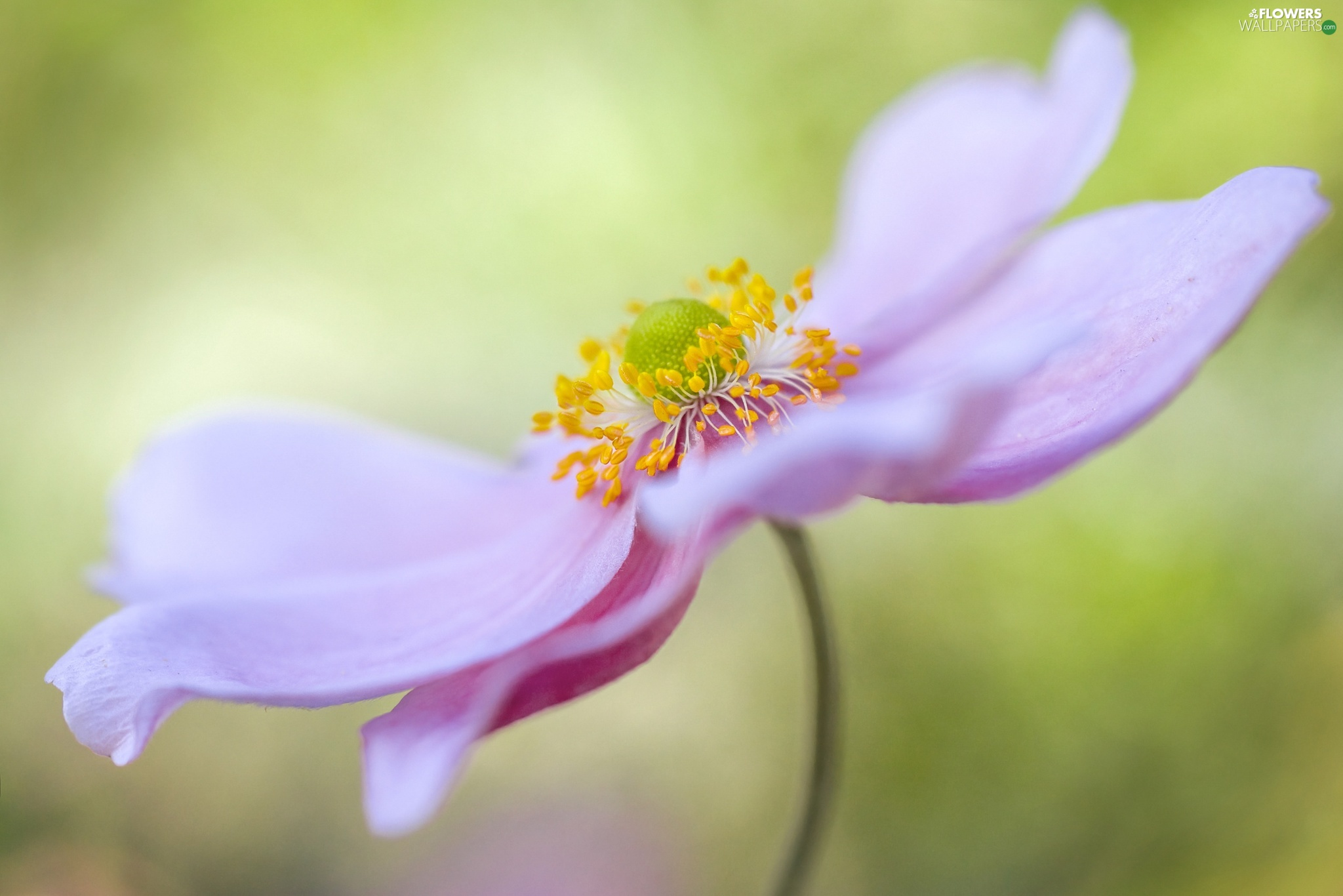 Close, Colourfull Flowers, anemone