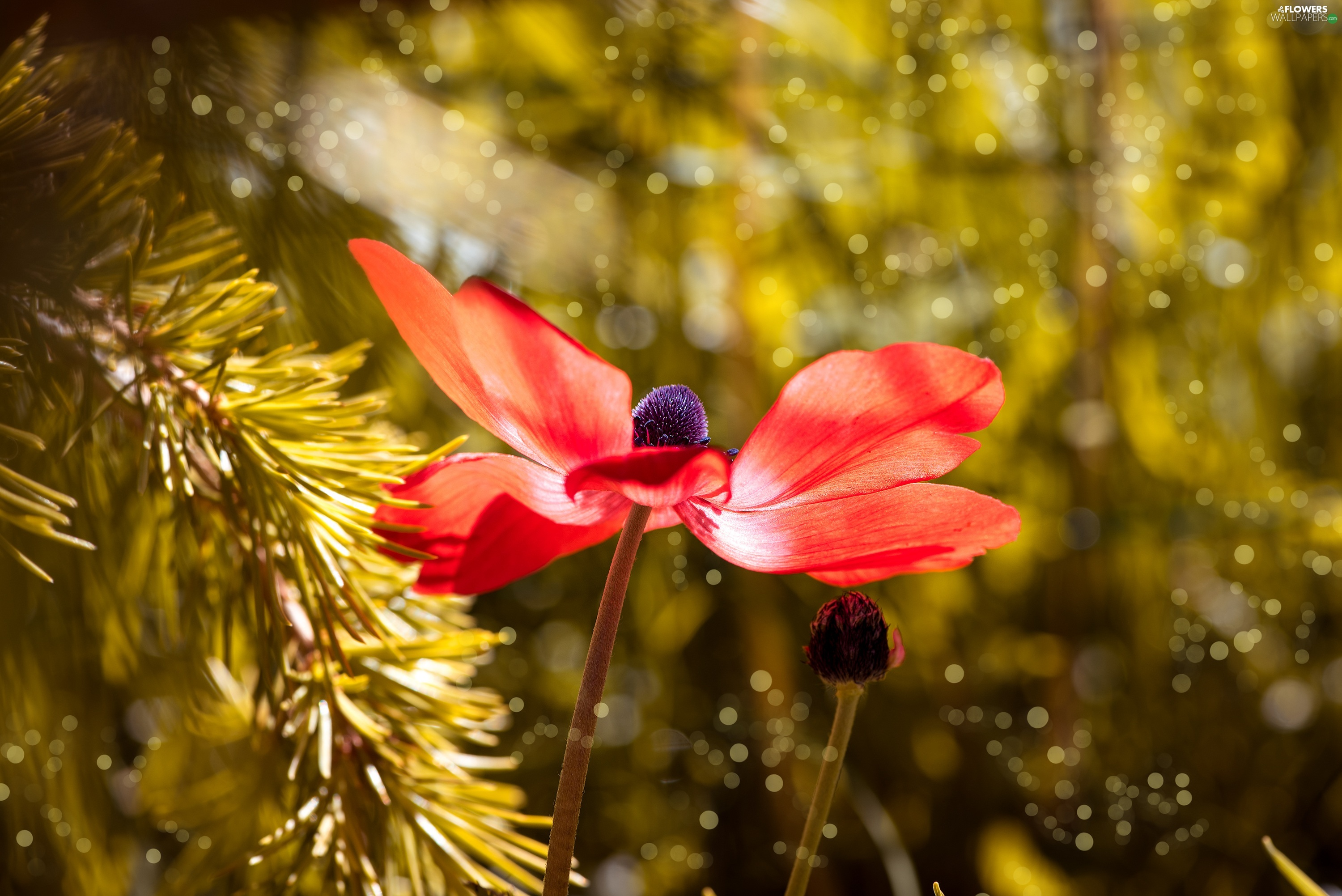 sun, twig, flash, ligh, Colourfull Flowers, Red, luminosity, anemone