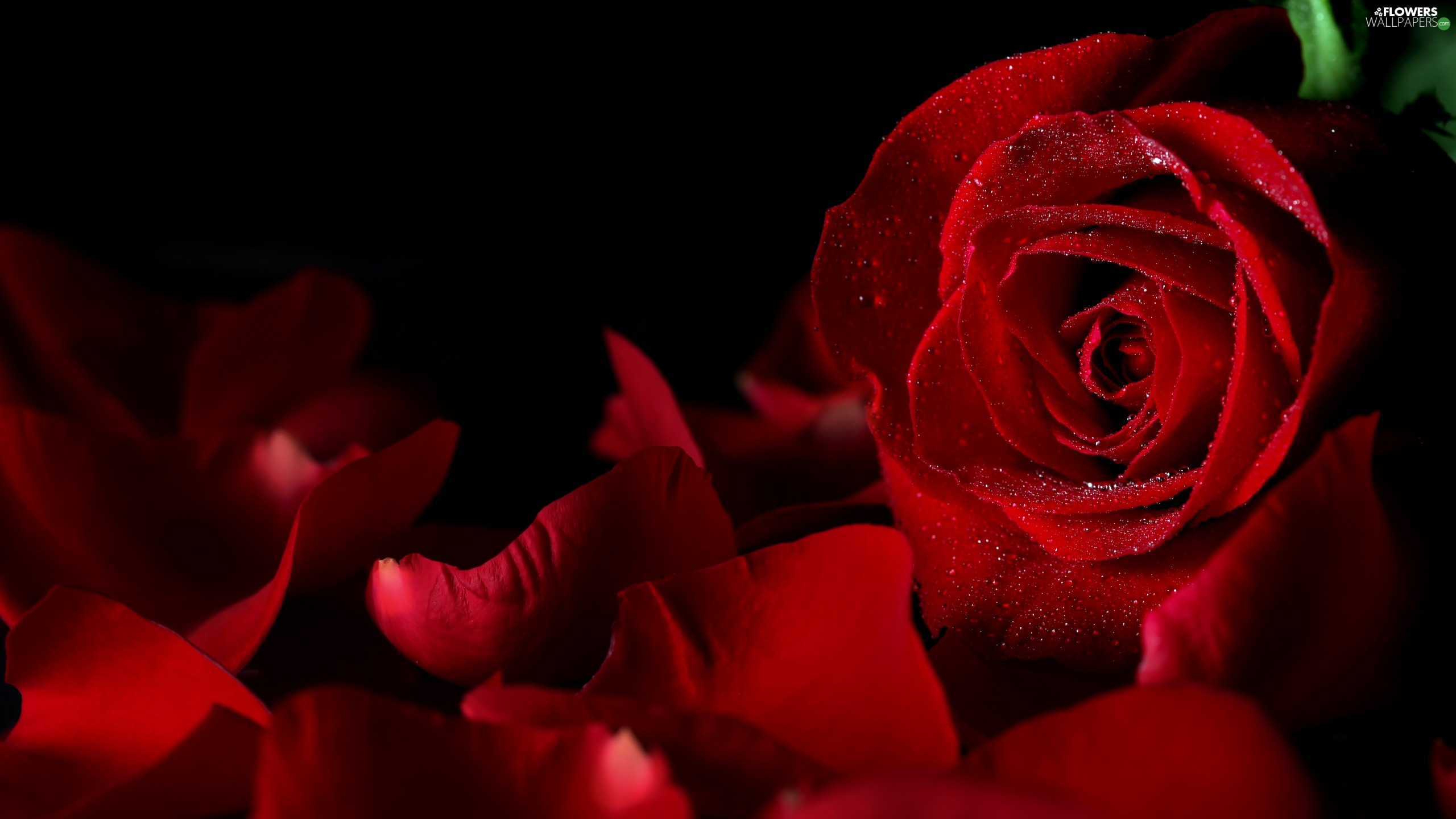 Black, flakes, red hot, background, rose