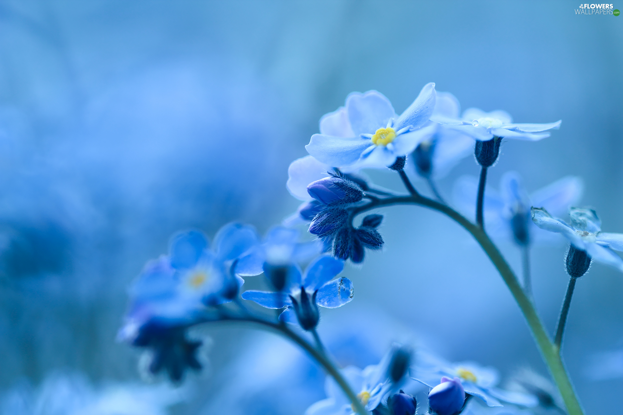 Blue, Forget, Flowers