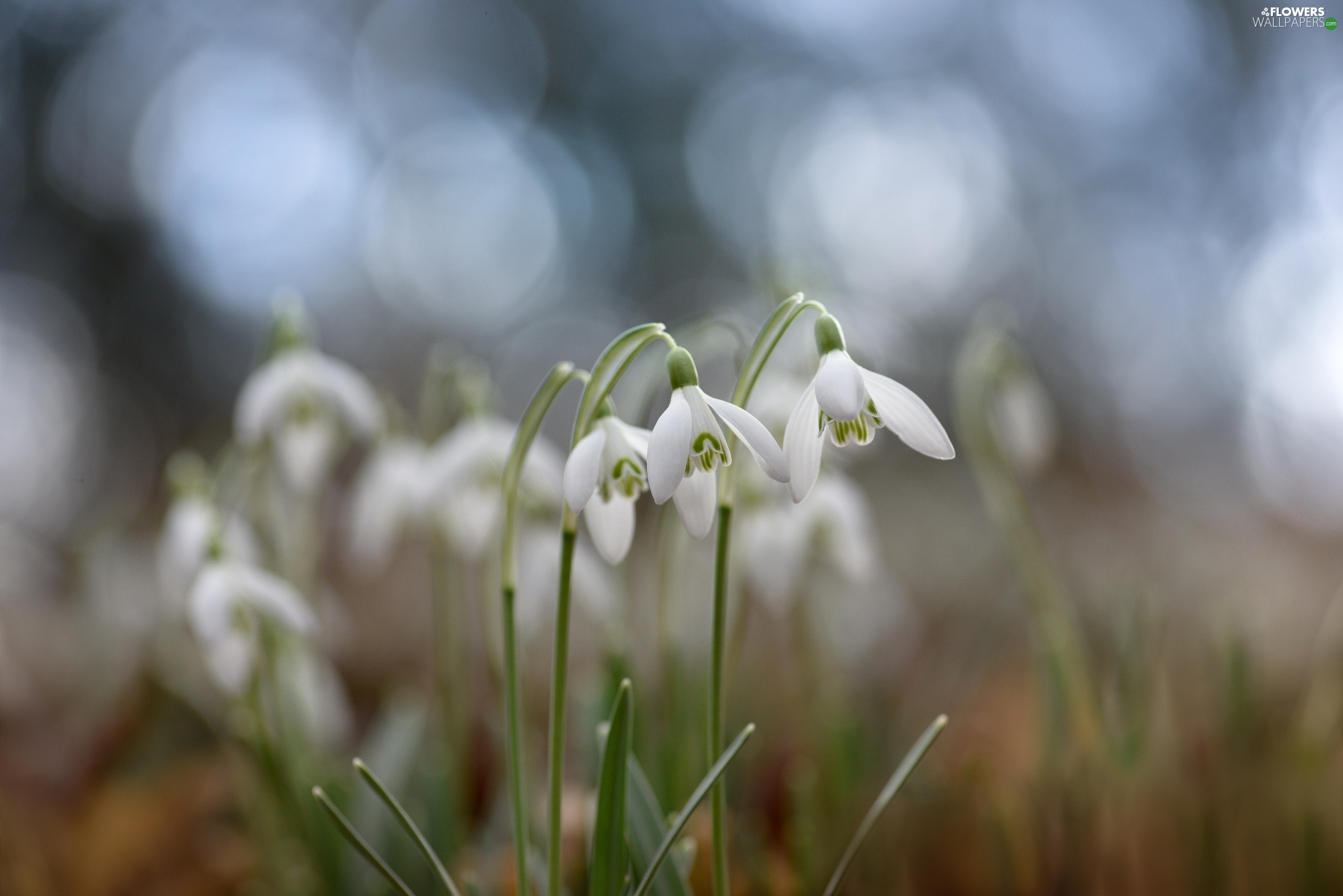 cluster, snowdrops