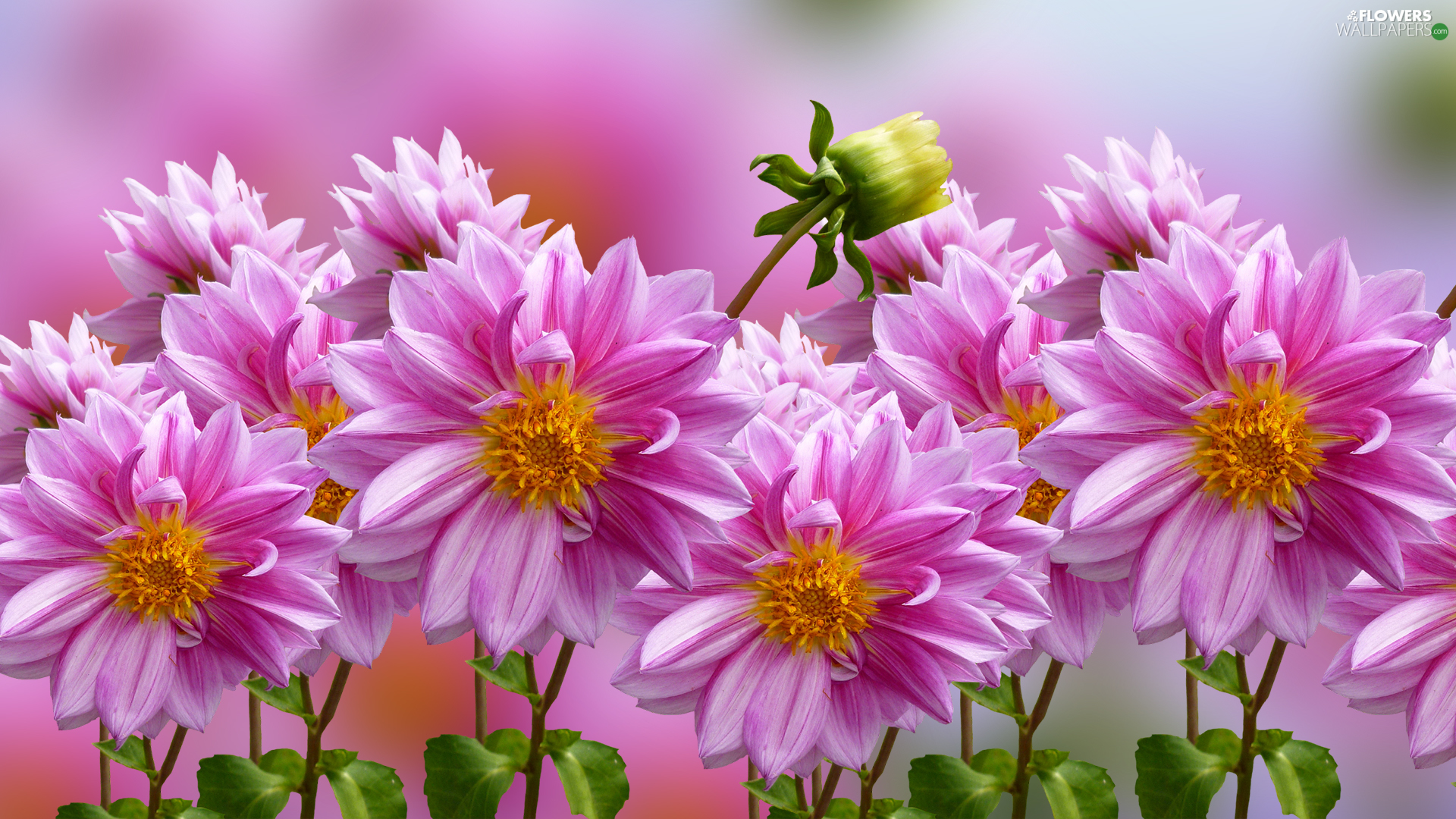 dahlias, Flowers, Pink