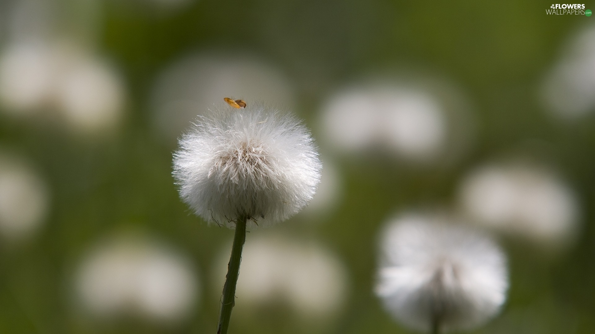 dandelion, blurry background, Common Coltsfoot