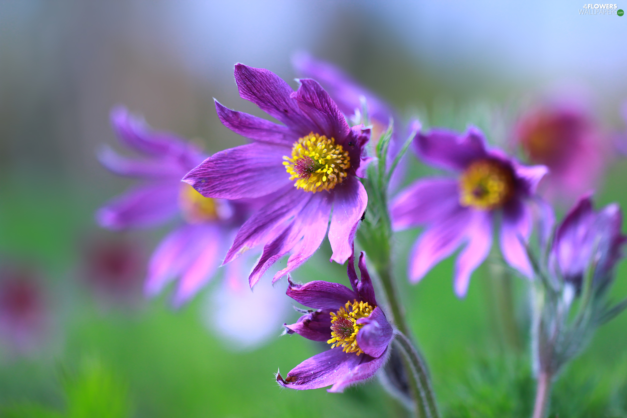 pasque, Flowers, purple