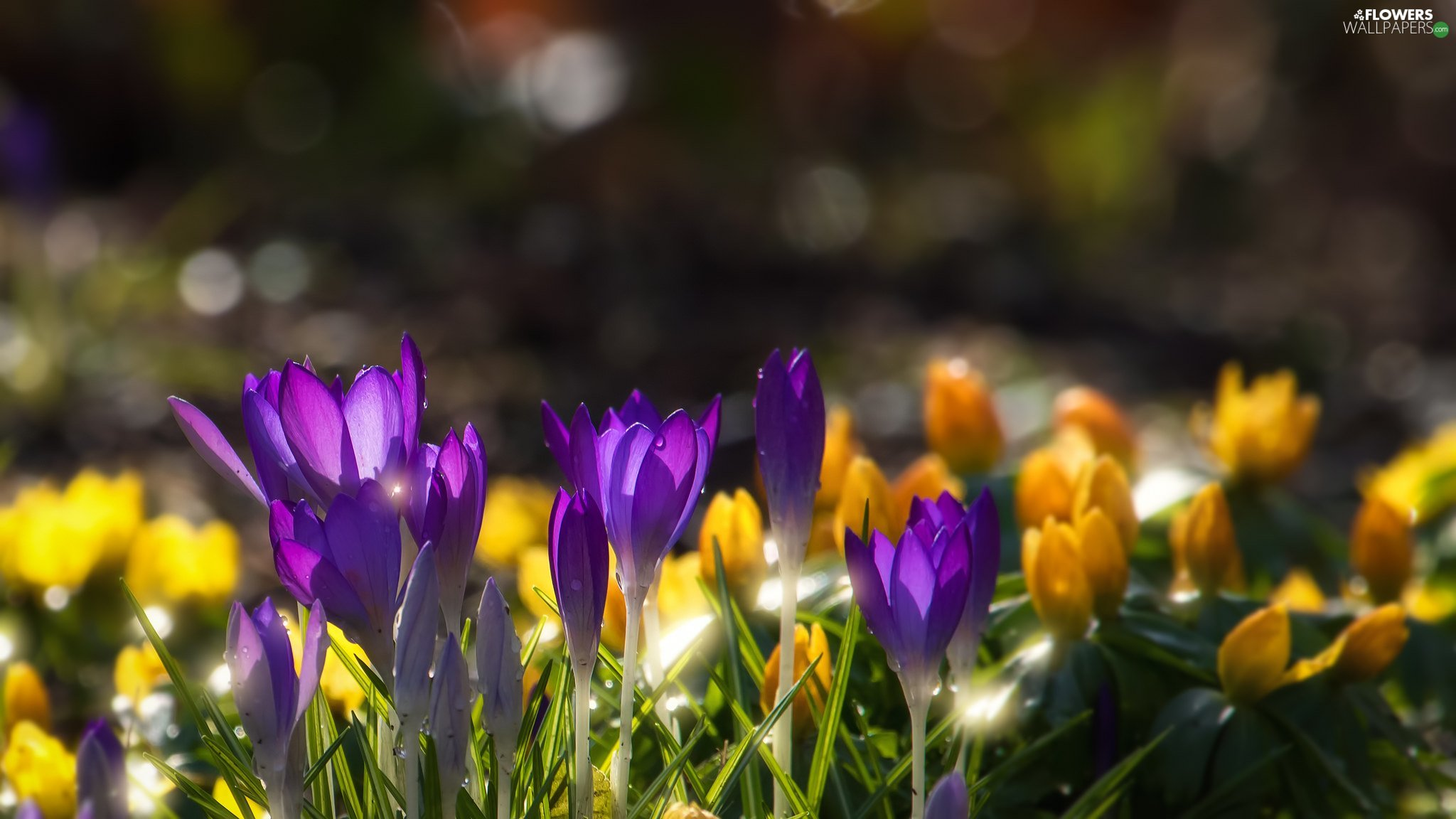 grass, crocuses, blur