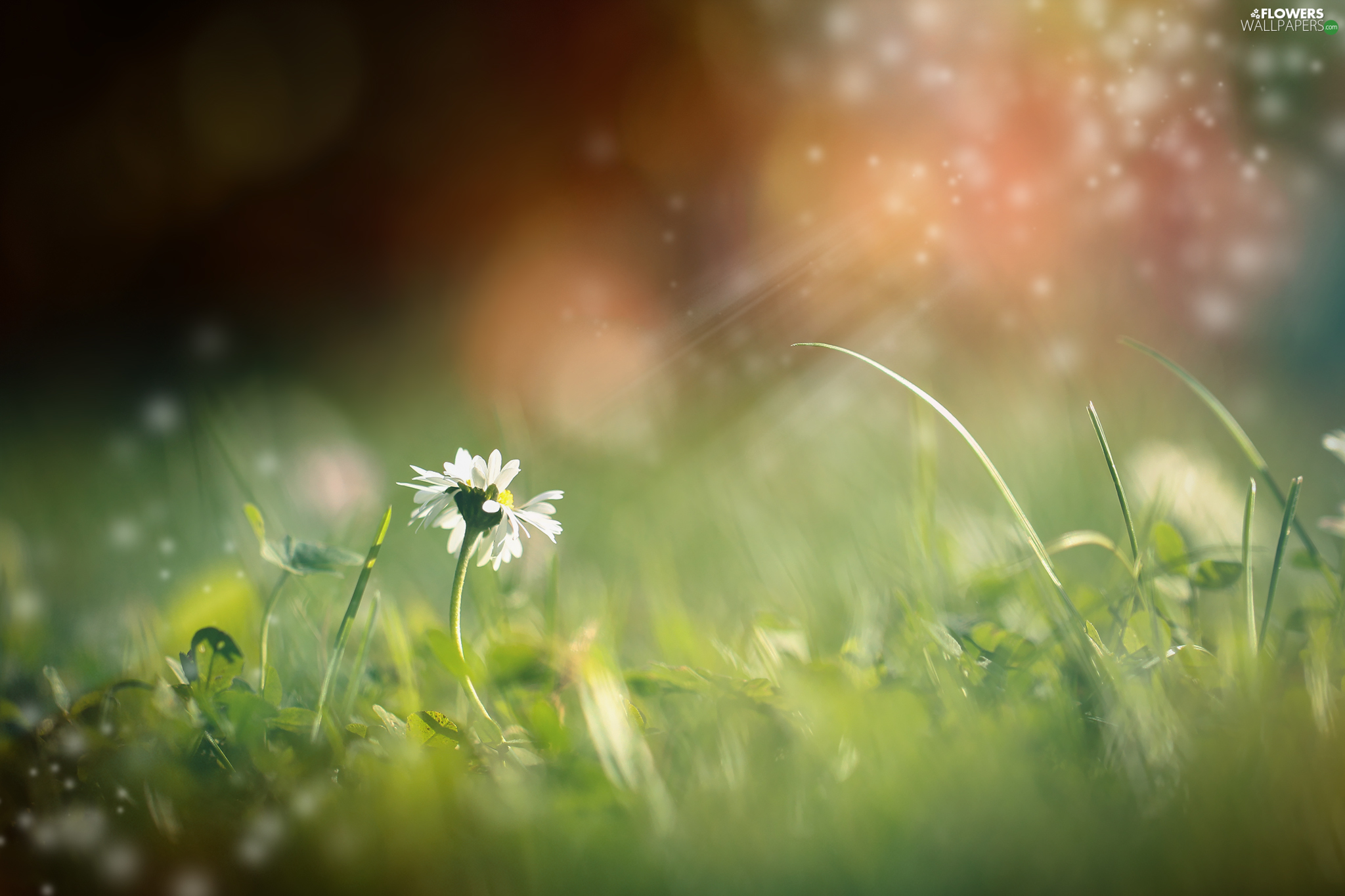 grass, Plants, White, Colourfull Flowers, daisy