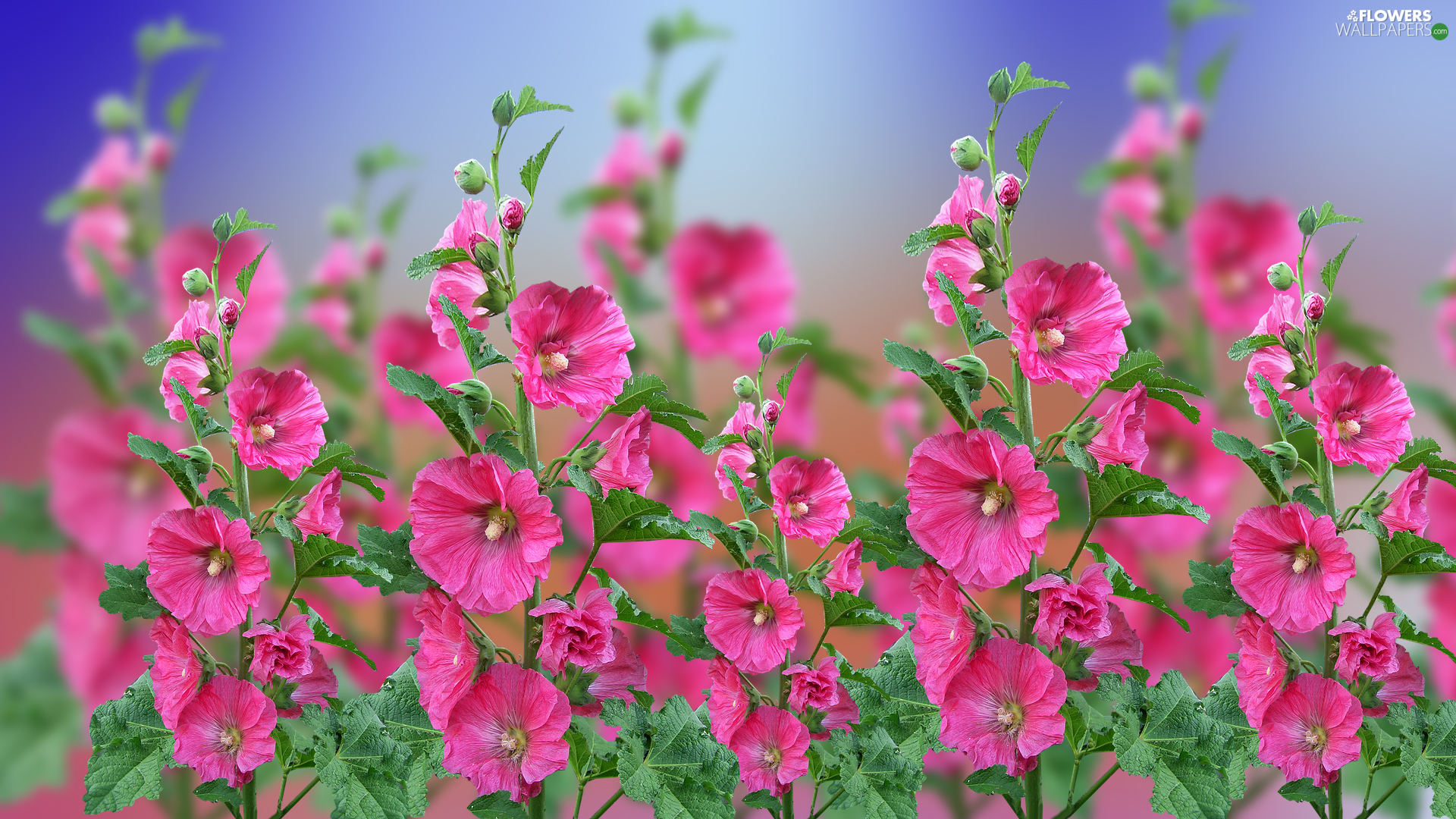 Flowers, Hollyhocks, 2D Graphics, Pink