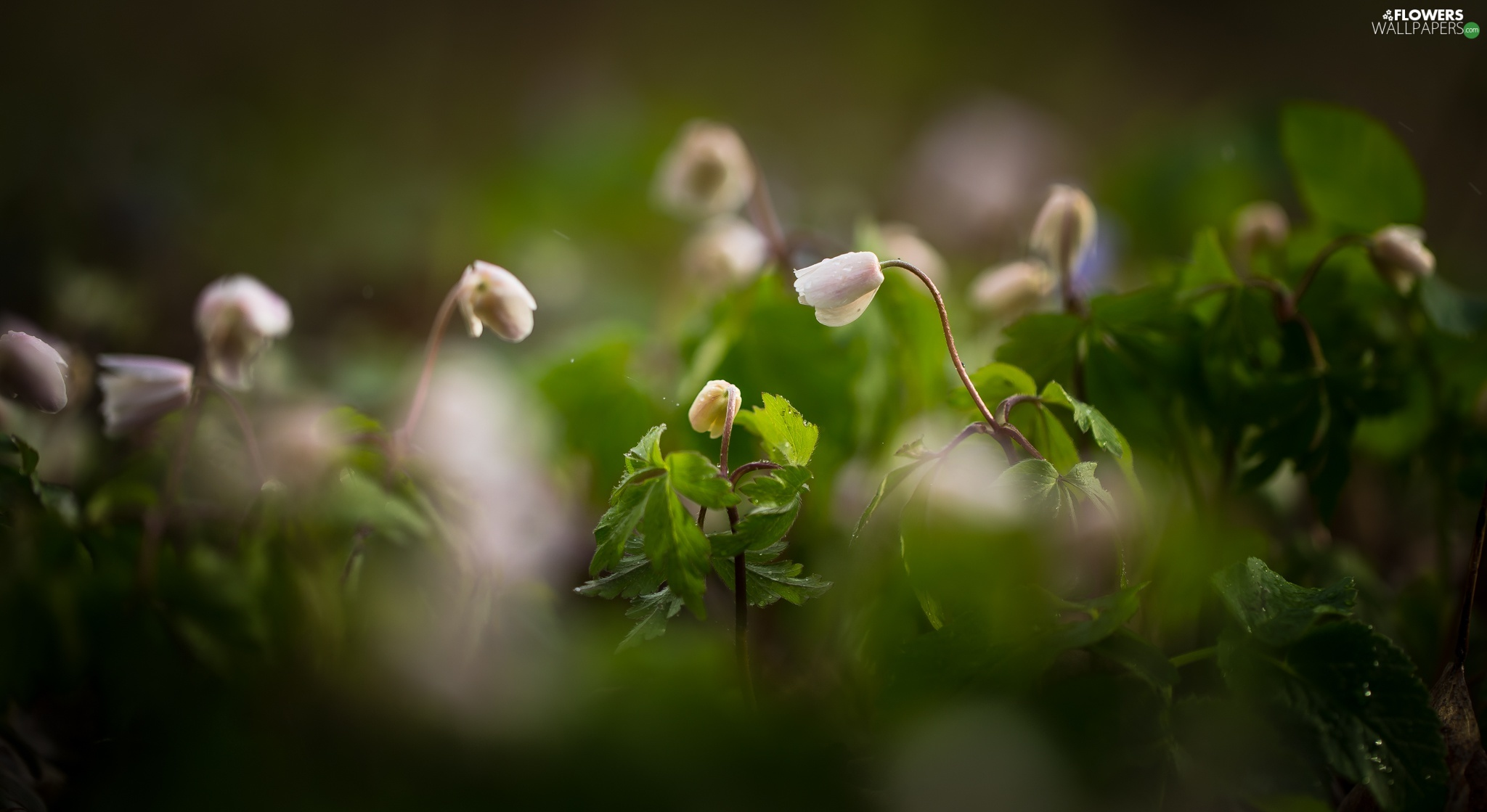 Flowers, Anemones, Leaf, White