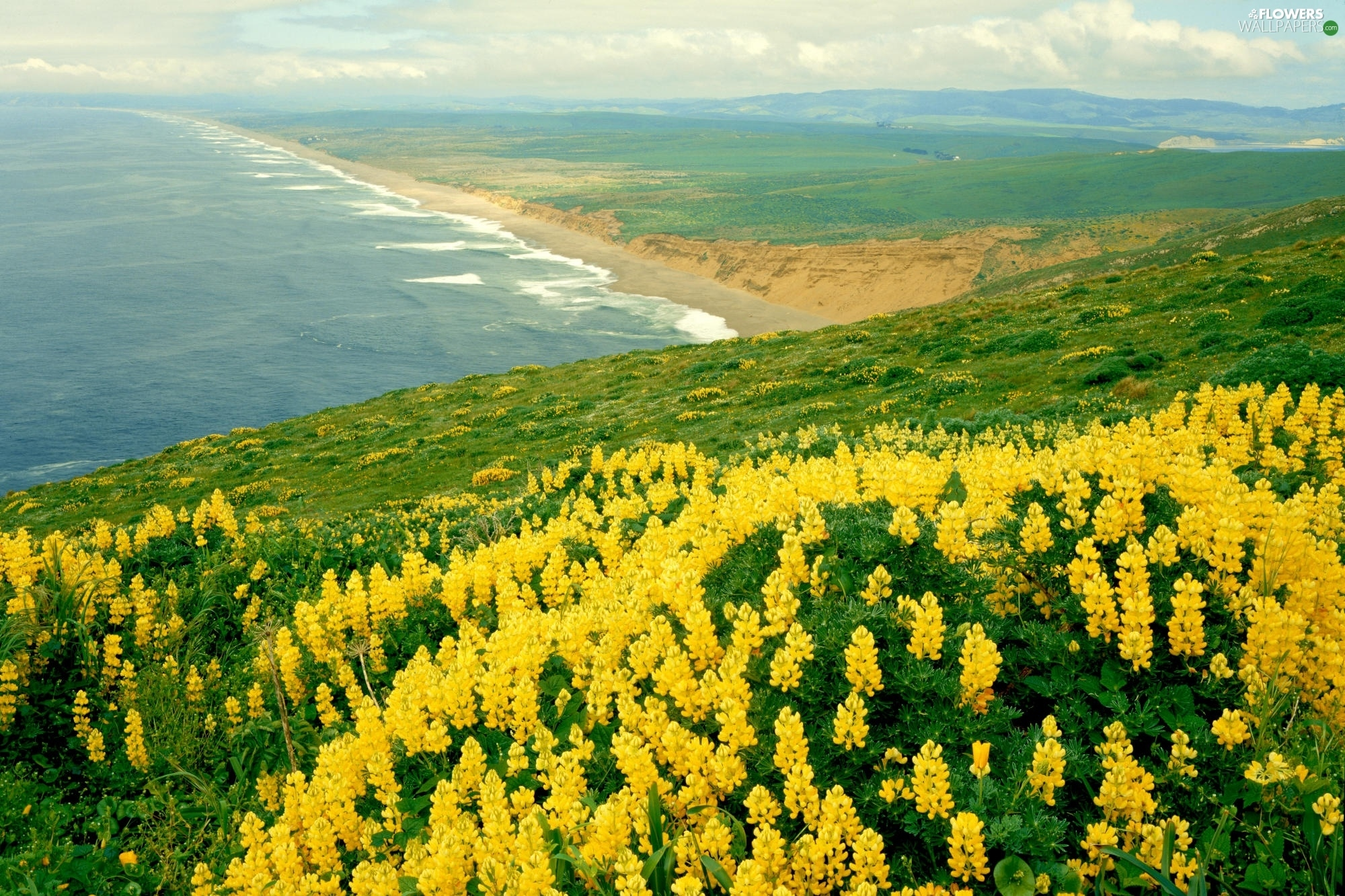 lupine yellow sea coast flowers wallpapers 2000x1333. Black Bedroom Furniture Sets. Home Design Ideas