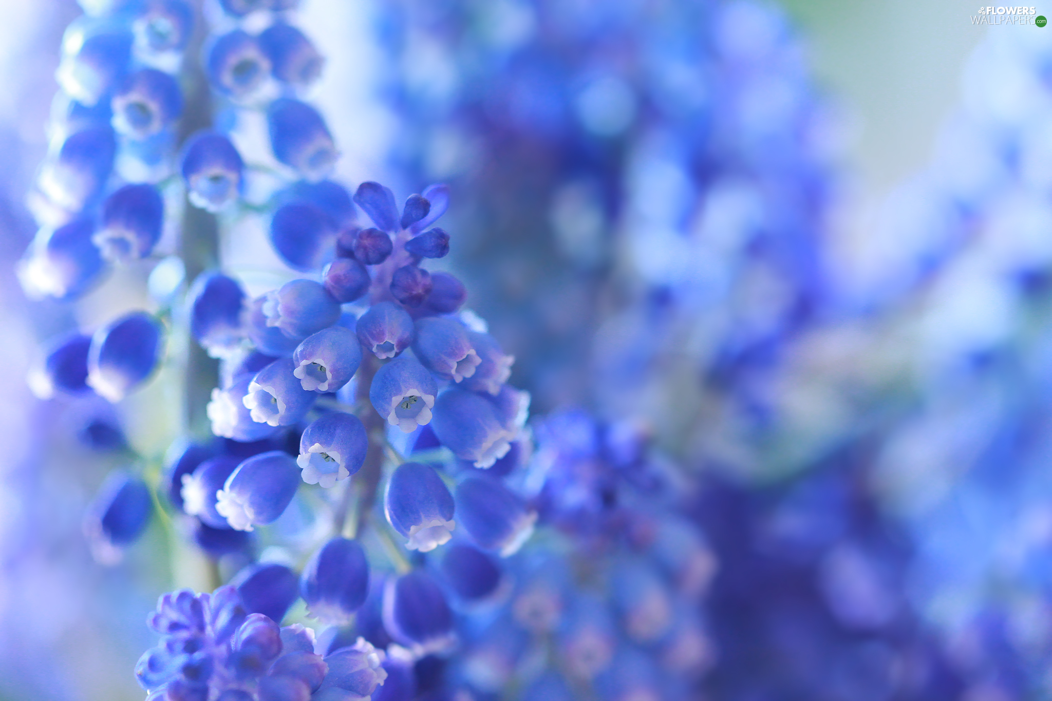 Flowers, Muscari, Blue