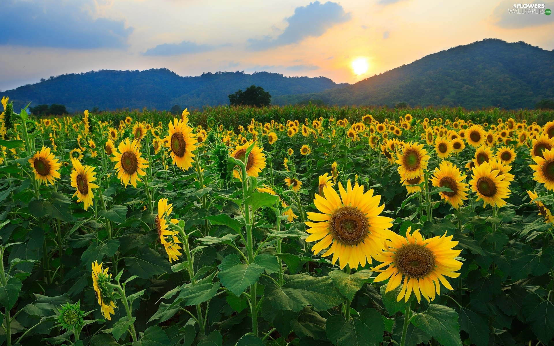 West, Mountains, Nice Sunflowers, Sun
