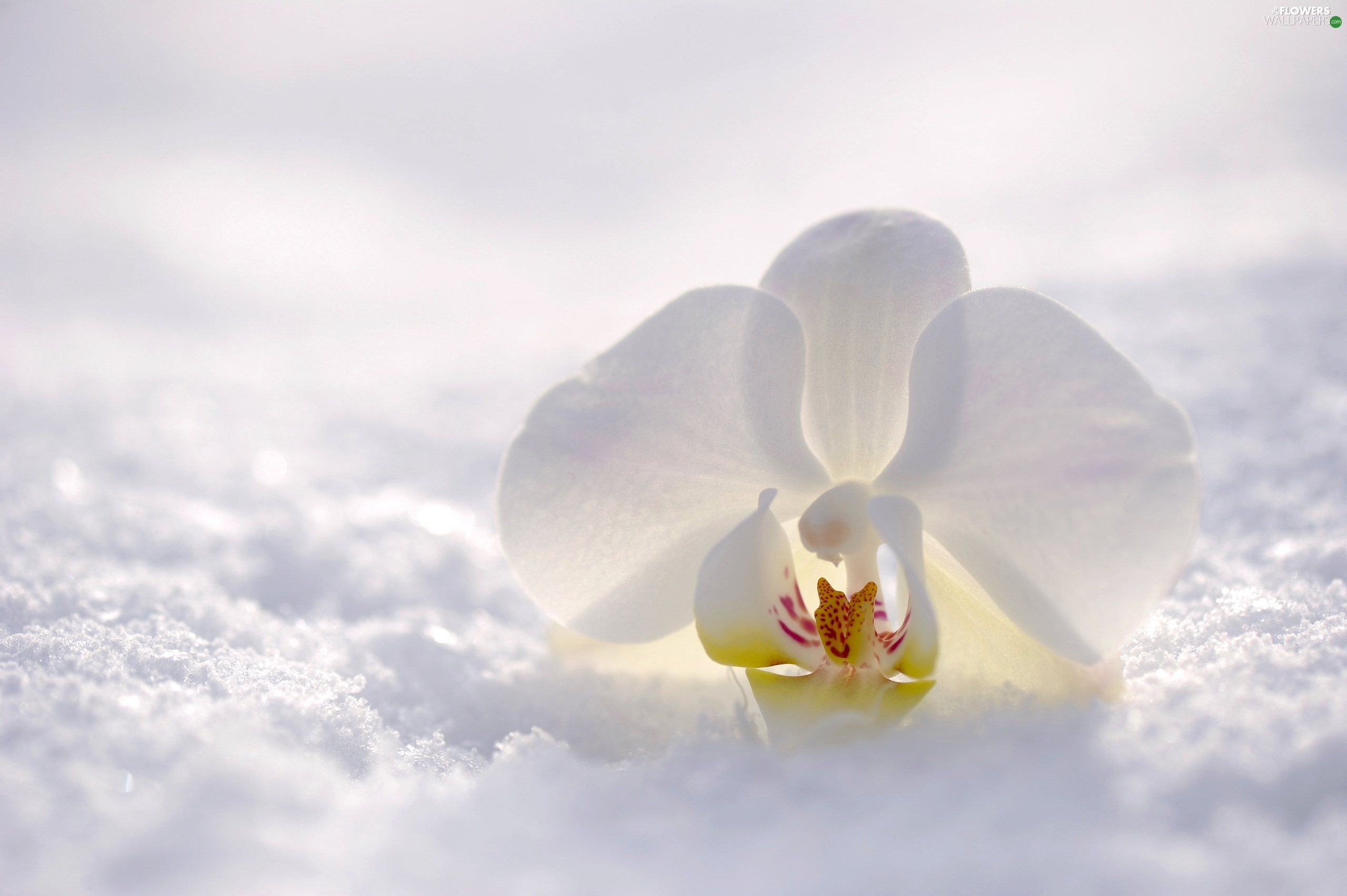 orchid, orchid, White, Colourfull Flowers, snow