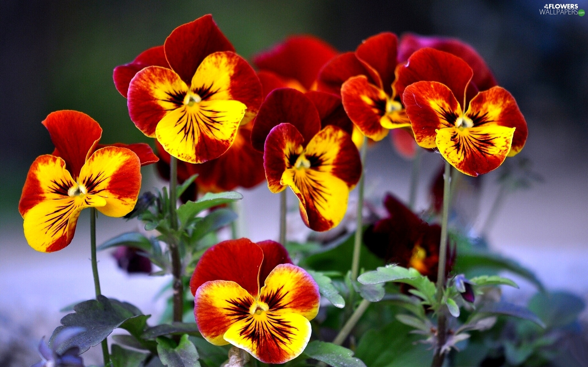 Yellow, pansies, maroon - Flowers wallpapers: 1920x1200