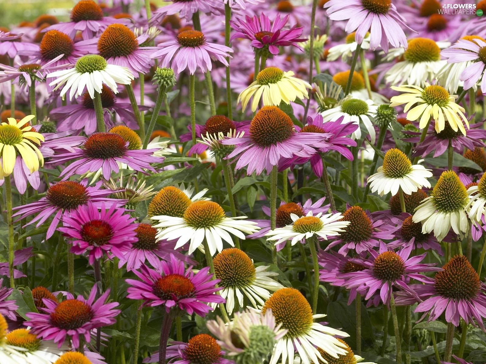 Purple Coneflower Wallpapers: Flowers Wallpapers: 1600x1200