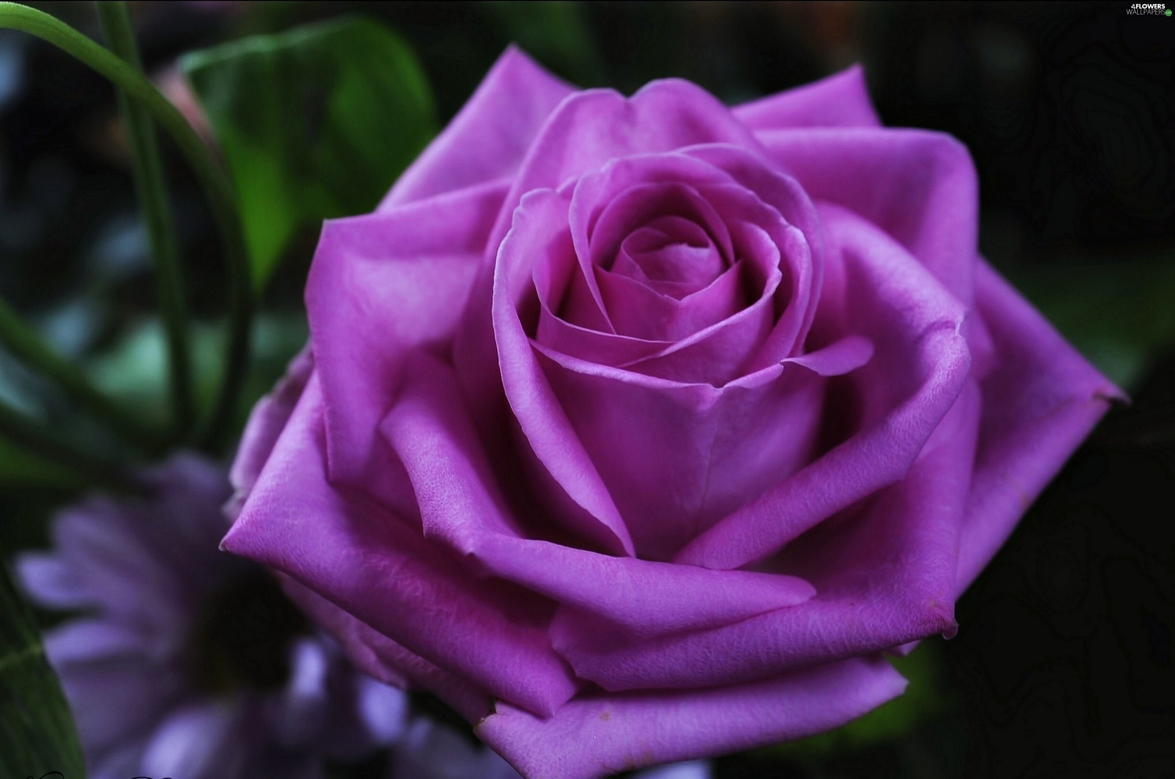 violet rose flowers wallpapers 3840x2547
