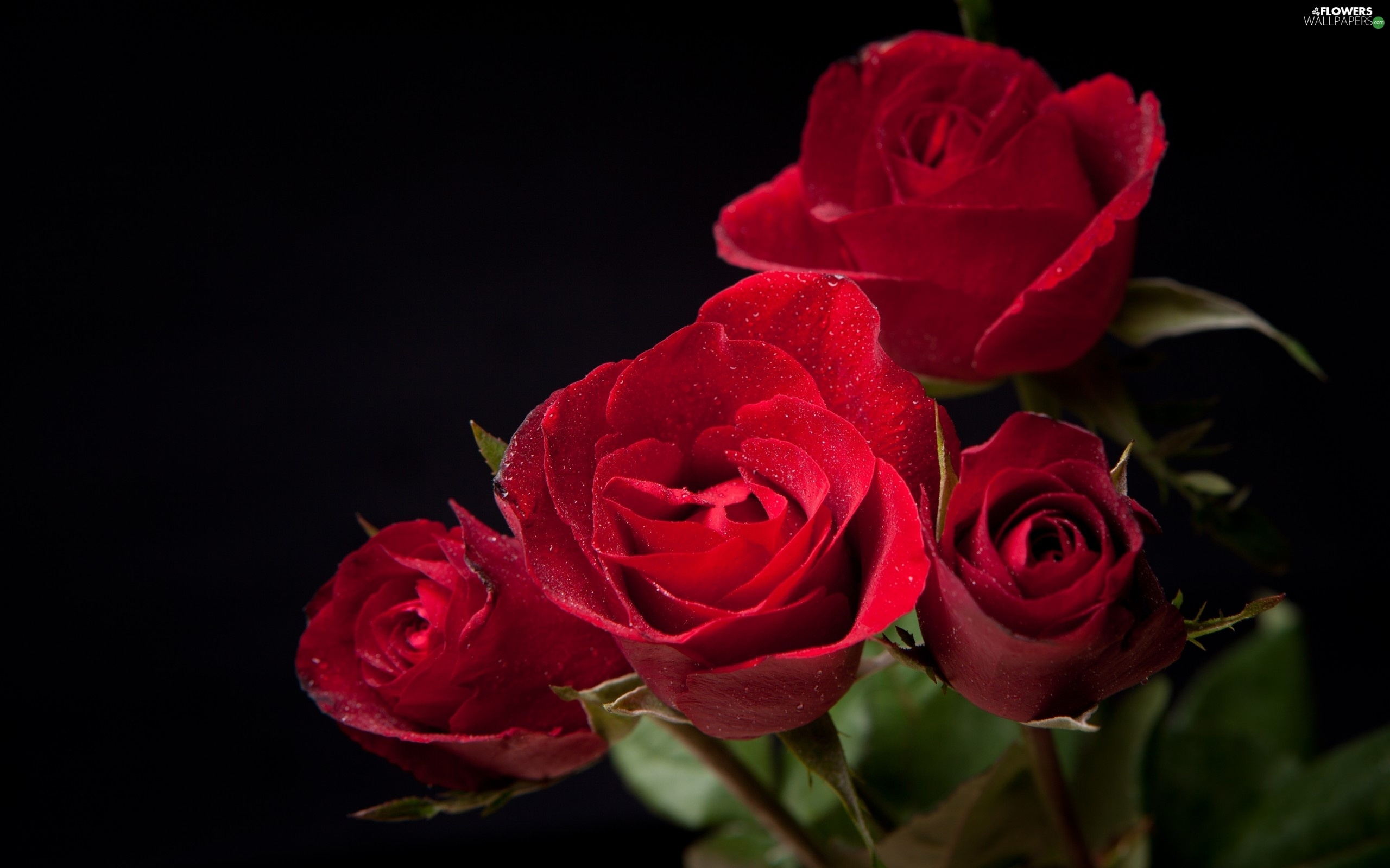 roze red   flowers wallpapers 2560x1600