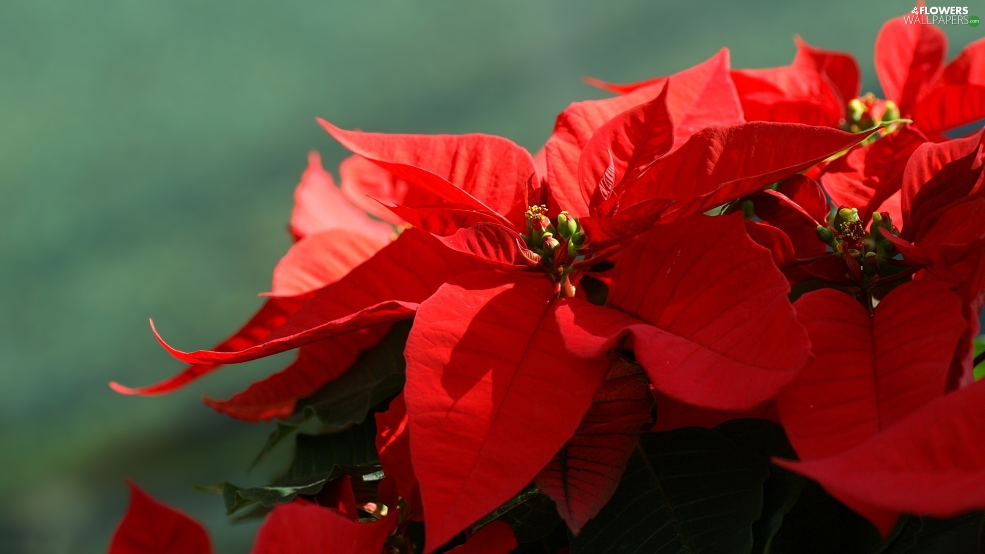 poinsettia, star of Bethlehem, Colourfull Flowers, red hot