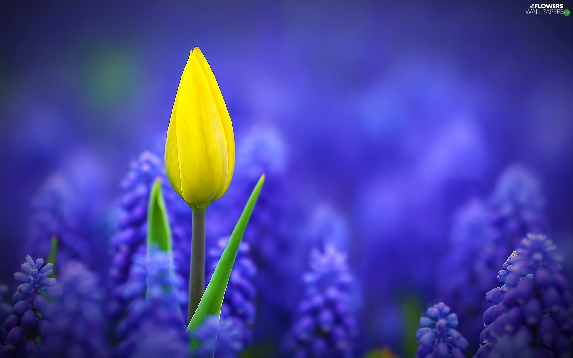 Download Wallpaper x Daffodils Hydrangea Muscari