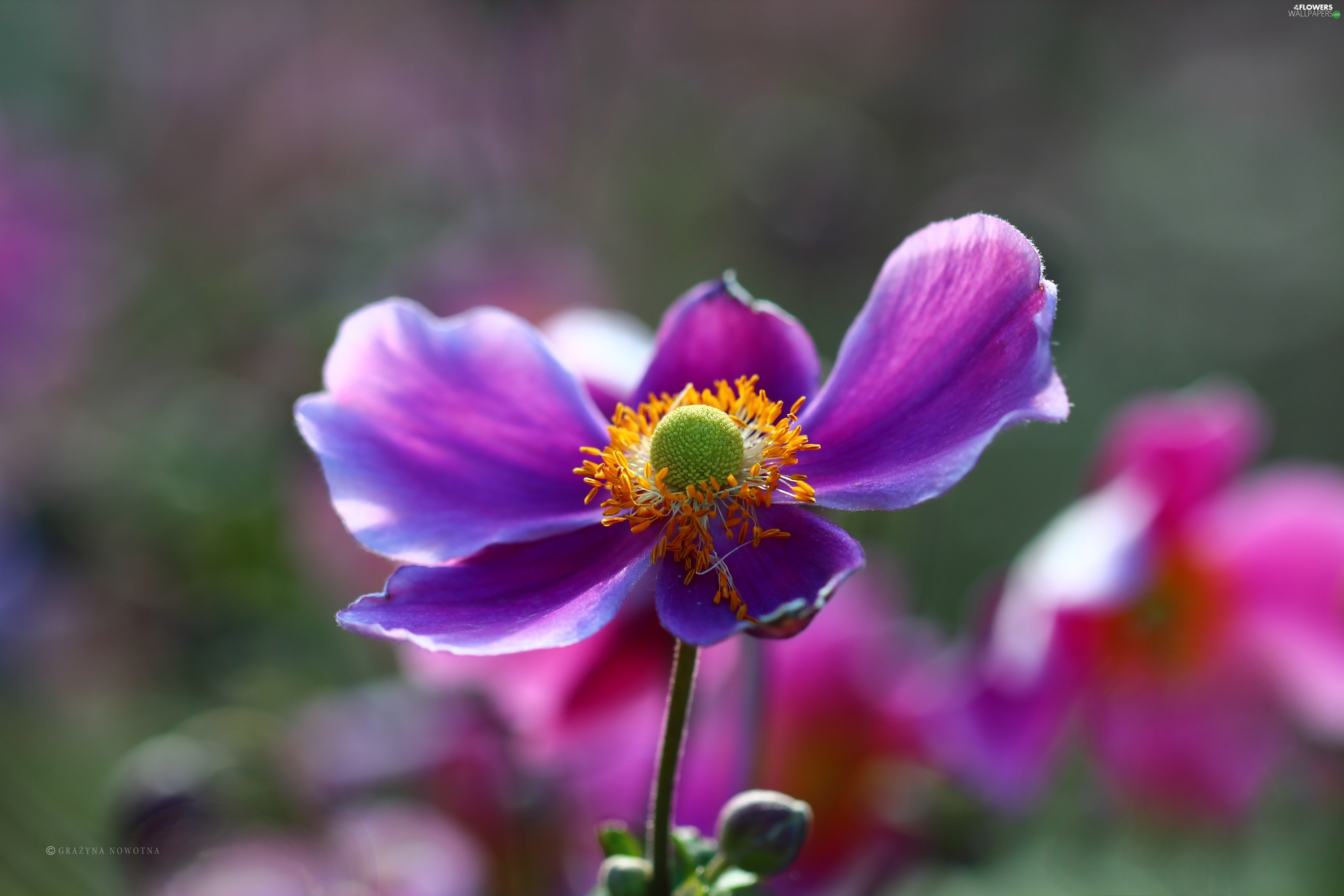 Violet Colourfull Flowers Japanese anemone Flowers wallpapers 3840x2560
