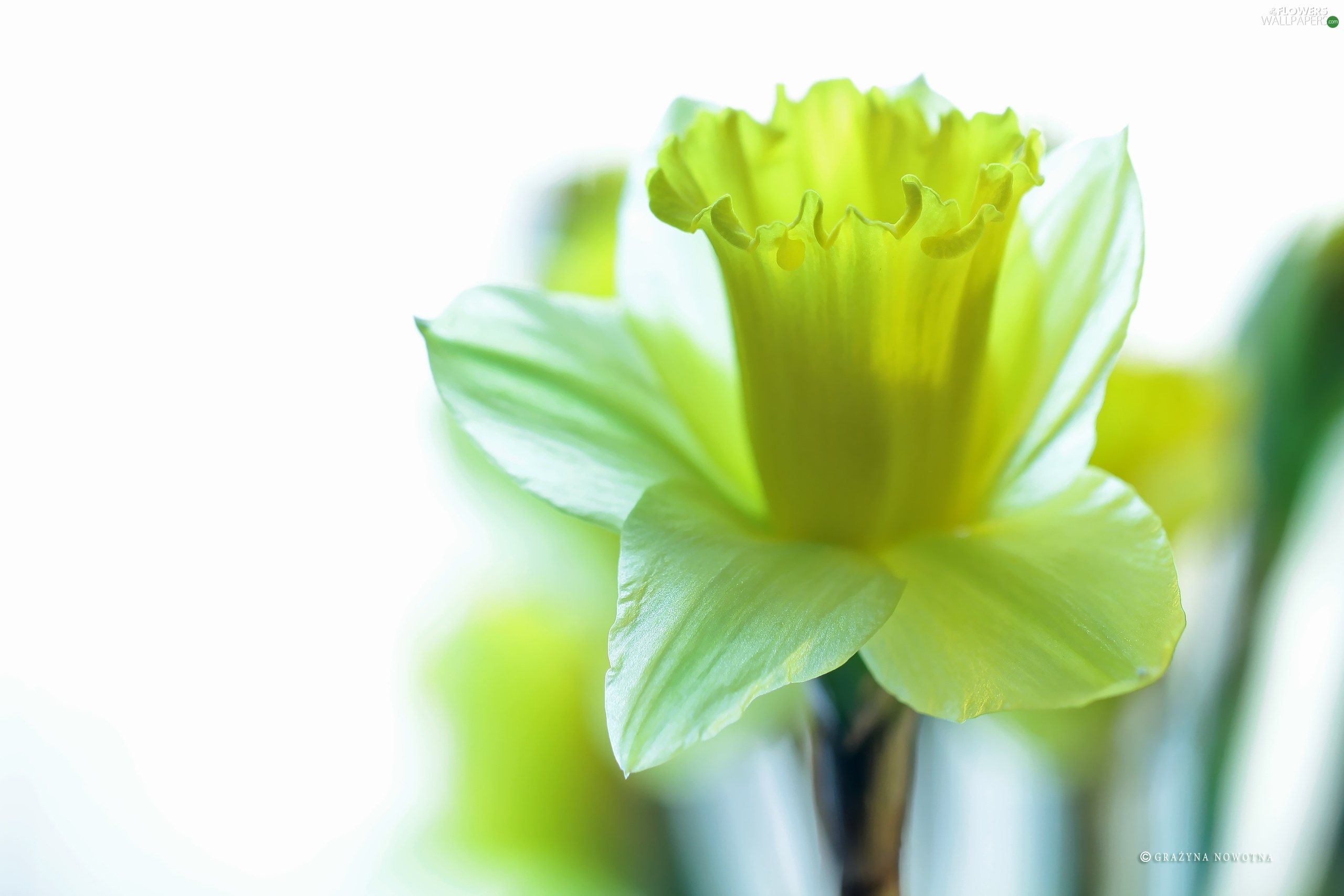 Yellow Colourfull Flowers jonquil Flowers wallpapers 2560x1707