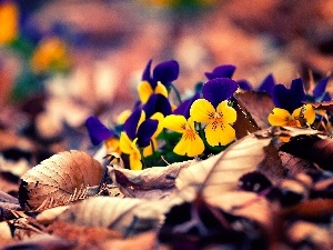 autumn, pansies, Leaf