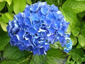 Blue, hydrangea, Colourfull Flowers