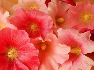 Hollyhocks, Close