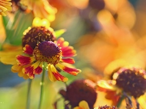 Colourfull Flowers, Helenium, color