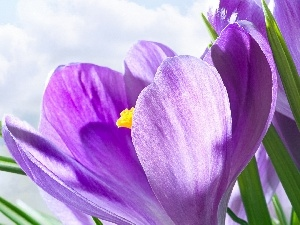 Colourfull Flowers, crocus