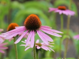 echinacea, Colourfull Flowers
