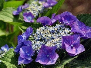 Colourfull Flowers, hydrangea