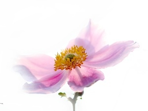 Pink, Japanese anemone, Colourfull Flowers