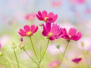 Flowers, Cosmos, Pink