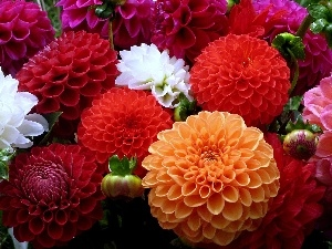 color, dahlias