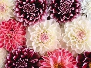 dahlias, Flowers, color