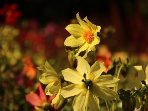 Yellow, dahlias