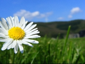 daisy, Meadow, Colourfull Flowers