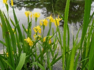 DBZ, water, Irises, growing, Yellow