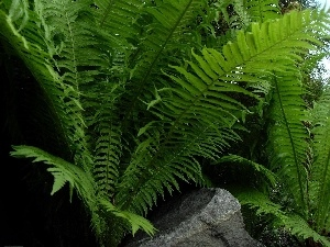 green, fern, Leaf