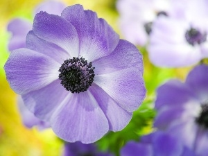 anemone, flakes, blue