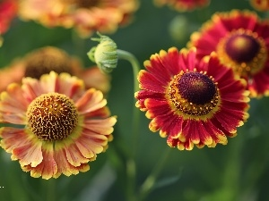 flakes, Helenium, Red, Yellow, Flowers
