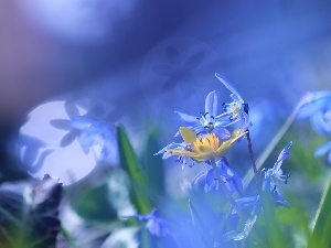 Flare, Siberian squill, Blue, Flowers