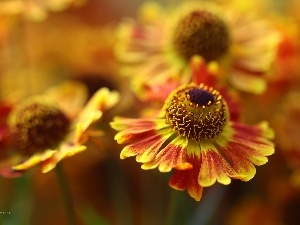 Helenium, Colourfull Flowers