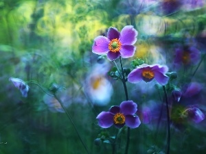 purple, Japanese anemone, Flowers
