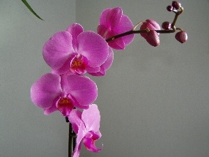 orchid, Flowers, Pink