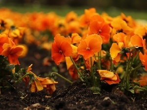 Flowers, Orange, pansies