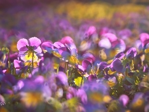 Flowers, pansies, purple