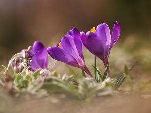 Flowers, Spring, purple, crocuses