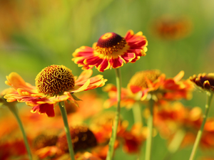 Flowers, Helenium, Red