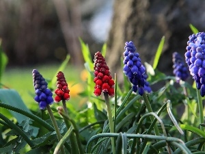 Red, Flowers, Muscari